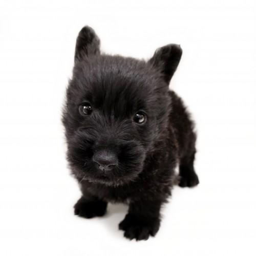 スコティッシュテリア 子犬