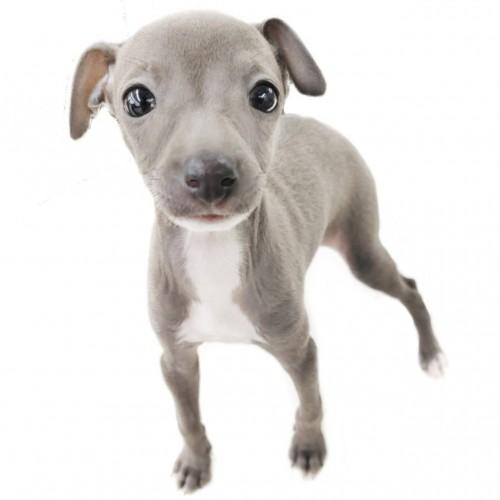 子犬 イタグレ