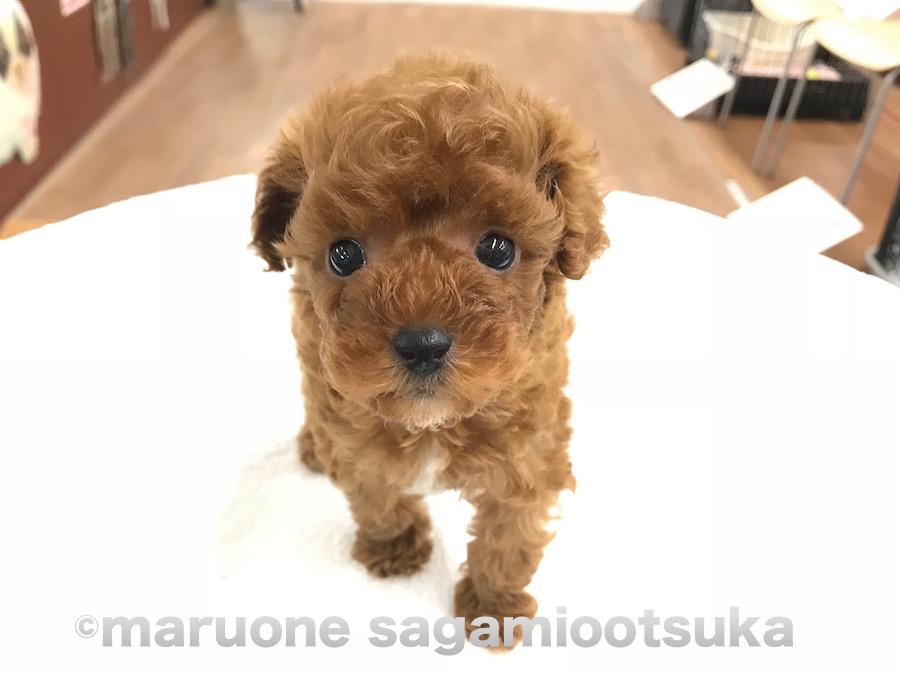 神奈川 トイプードル 神奈川県のトイプードルの子犬を探す|専門ブリーダー直販の子犬販売【みんなのブリーダー】