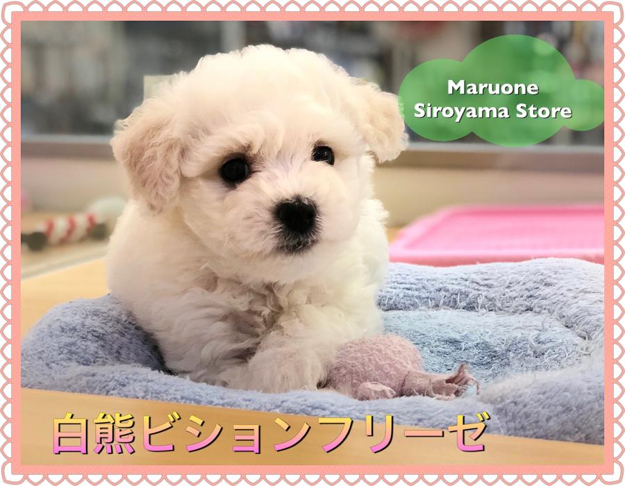 白熊ビション】世界一可愛らしい希少犬種!ビションフリーゼの