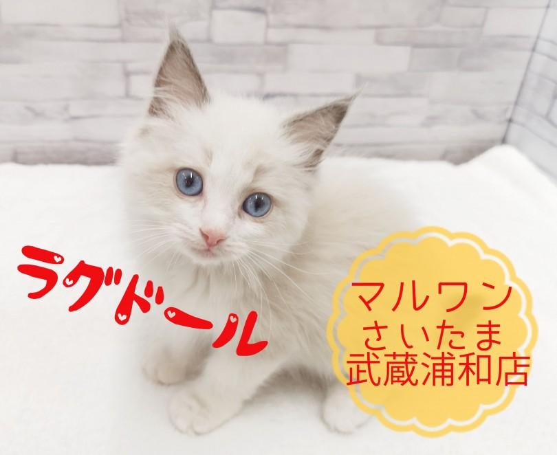 猫 ラグドール 子猫