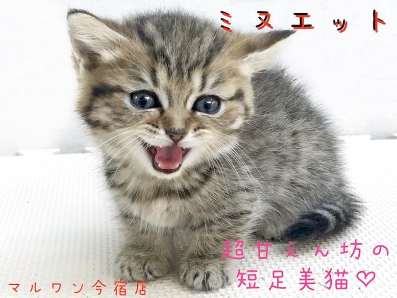 猫 ミヌエット 画像