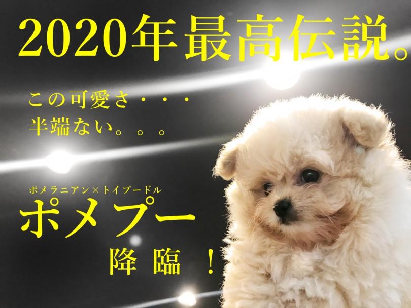 ポメプー 】2020最年最高伝説!ポメとトイプーからクマプーが誕生 ...