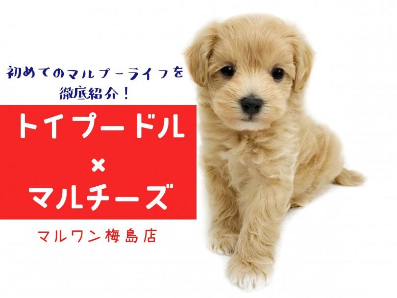 マルプー 子犬
